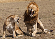 Matting Photo Posters - Mating Lions Poster by Sandra Roniger-Hughes