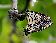 Mating Monarchs Print by Marty Koch