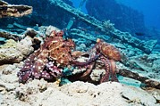 Mating Pair Of Day Octopuses Print by Georgette Douwma