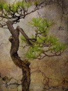 Bonsai Framed Prints - Matsu Framed Print by Eena Bo