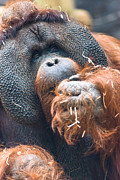Orang-utans Framed Prints - Mature Orangutan Framed Print by Andrew  Michael