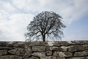 Gloucestershire Prints - Mature Tree Viewed A Cotswold Dry Stone Wall, Uk March Print by Stephen Shepherd