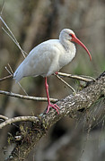 Cypress - Mature White Ibis by Juergen Roth