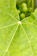 Grapevine Leaf Posters - Maturing wine grapes Poster by Gaspar Avila