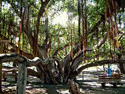 Rob Green - Maui Banyan Tree Park