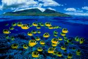 Sealife Art Photo Posters - Maui Butterflyfish Poster by Dave Fleetham - Printscapes