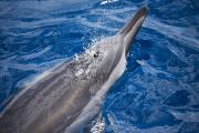 Slash Photos - Maui Dolphin by Dave Fleetham