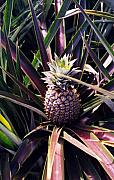 Pineapple Photo Prints - Maui Gold Pineapple Print by Pierre Leclerc