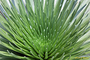 Spiney Posters - Maui Silversword  Poster by Frank Wicker