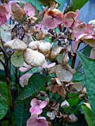 Flowers - Mauve Hydrangea in Fall  by Pamela Patch