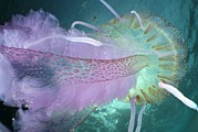 Medusa Prints - Mauve Stinger Jellyfish Print by Angel Fitor