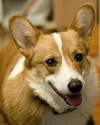 Corgi Dog Portrait Posters - Max Poster by Laurie With
