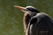 Great Heron Photos - Maxwell Morning by Reflective Moments  Photography and Digital Art Images