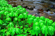 West Fork River Photos - Mayapples and Middle Fork of Williams River by Thomas R Fletcher