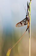 Ephemera Prints - Mayfly Print by Rikard  Olsson
