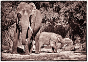Mother And Young Framed Prints - Me And My Baby Elephant Framed Print by Linda Pulvermacher