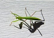Mantis Photos - Me And My Shadow by Will Borden