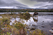 Baxter Framed Prints - ME0020 Baxter State Park Moose Framed Print by Steve Sturgill