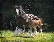 Clydesdale Posters - Meadow and Orion Poster by Terry Kirkland Cook