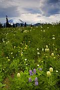Mt Rainier Photos - Meadow Beneath the Storm by Mike  Dawson