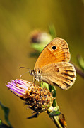 Purple Flowers Prints - Meadow brown butterfly  Print by Elena Elisseeva