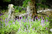 Wild-flower Posters - Meadow Lupine Poster by Marilyn Hunt