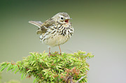 Juniper Tree Framed Prints - Meadow Pipit (anthus Pratensis), Adult Perched On A Juniper Bush (juniperus Communis), And Calling, Scotland Framed Print by Duncan Shaw