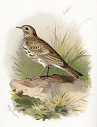 Bird Drawing Posters - Meadow Pipit, Historical Artwork Poster by Sheila Terry