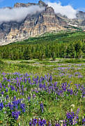 Montana Posters - Meadow With Lupines Poster by Merilee Phillips