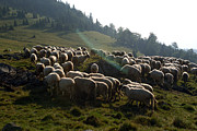 Transilvania Metal Prints - Meadow with sheep Metal Print by Ioan Todor