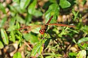 Dragonfly Photo Originals - Meadowhawk Dragonfly by Kenneth Albin