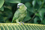 Amazon Parrot Prints - Mealy Parrot Amazona Farinosa Perching Print by Michael & Patricia Fogden