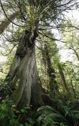 Fir Trees Photos - Meares Island, British Columbia, Canada by Deddeda