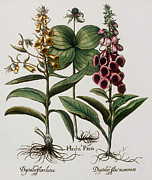 Foxglove Flowers Photos - Medicinal Plants by Georgette Douwma