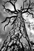Medusa Pine Print by Lynda Dawson-Youngclaus