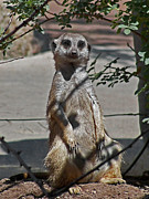Meerkat Photos - Meerkat 2 by Ernie Echols