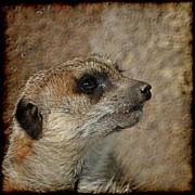 Meerkat Photos - Meerkat 3 by Ernie Echols