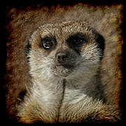 Meerkat Photos - Meerkat 4 by Ernie Echols