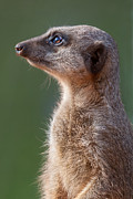 Meerkat Digital Art Posters - Meerkat Centurion Poster by Julie L Hoddinott