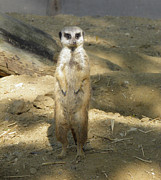 Meerkat Digital Art Posters - Meerkat Poster by Chris Green