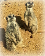 Cheeky Photo Framed Prints - Meerkat Duo Framed Print by Jan Steadman-Jackson