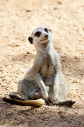 Cute Photo Metal Prints - Meerkat Metal Print by Fabrizio Troiani