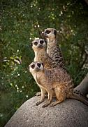 Meerkat Photos - Meerkat Hill by Chad Davis