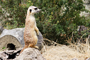Sweetly Prints - Meerkat II Print by Ivica Vulelija