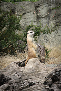 Sweetly Prints - Meerkat Print by Ivica Vulelija