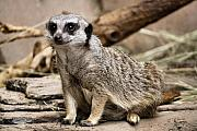 Meerkat Photos - Meerkat by Karen M Scovill