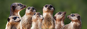 Meerkat Digital Art Prints - Meerkat Mob Print by Julie L Hoddinott