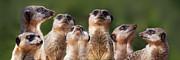 Julie L Hoddinott - Meerkat Mob