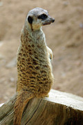 Conservation Metal Prints - Meerkat Portrait Metal Print by Carlos Caetano