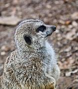 Pondering Photo Prints - Meerkat Portrait Print by Douglas Barnett